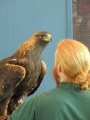Golden Eagle and handler